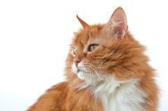 De kat van Tom Royalty-vrije Stock Afbeelding