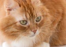 De kat van Tom Stock Afbeelding