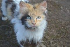 De Kat van Tricolor Stock Foto's