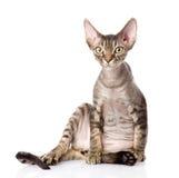 De kat van zittingsdevon rex het bekijken camera Royalty-vrije Stock Foto