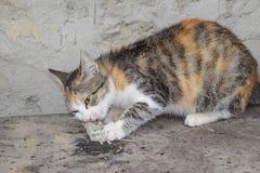 De kat ving de muis Natuurlijke uitroeiing van muizen, katten royalty-vrije stock foto's