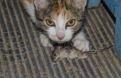 De kat ving de muis Natuurlijke uitroeiing van muizen, katten stock fotografie