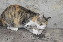 De kat ving de muis Natuurlijke uitroeiing van muizen, katten stock foto