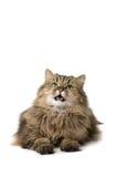 De kat zegt miauw Stock Afbeeldingen