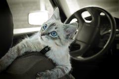 De kat zit in de auto Royalty-vrije Stock Afbeelding