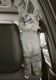 De kat zit in de auto en kijkt upwards Stock Fotografie