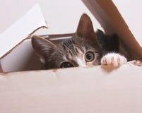 De kat zit in een doos Stock Foto