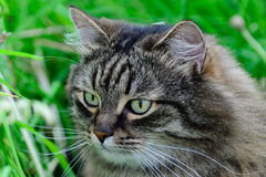 De kat zit in het gras Stock Afbeelding