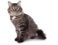 De kat zit op een witte achtergrond Royalty-vrije Stock Foto