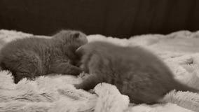 De katjes die op een wit spelen werpen stock videobeelden