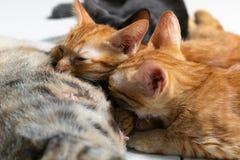 De katjes drinken melk van hun moeder stock fotografie