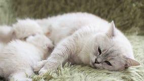 De katjes eten in de moeder` s melk van katten Kat en katje Liefde en tederheid stock footage