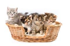 De katjes van de gestreepte kat Stock Foto's