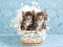 De katjes van de Wasbeer van Maine in geweven voederbak Royalty-vrije Stock Fotografie