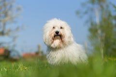De katoenen hondportret van DE Tulear Stock Foto