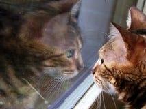 De katten dicht omhooggaand portret van Bengalen met spiegelbezinning in venster Stock Foto's