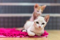 De katten liggen op het tapijt Stock Afbeelding