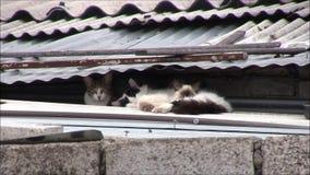 De katten op het dak slapen stock footage