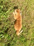 De katten` s hinderlaag - Oranje kat stock afbeelding