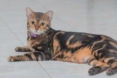 De katten van Bengalen Royalty-vrije Stock Fotografie