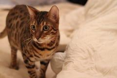De Katten van Bengalen - Tijgers Royalty-vrije Stock Afbeeldingen