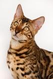 De Katten van Bengalen - Tijgers Stock Afbeelding