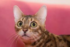 De Katten van Bengalen - Tijgers Stock Fotografie