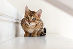 De Katten van Bengalen - Tijgers Stock Afbeeldingen