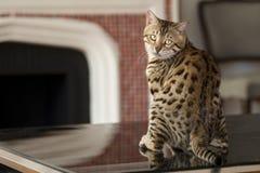 De Katten van Bengalen - Tijgers Royalty-vrije Stock Foto