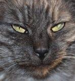 De katten van de gestreepte kat Stock Foto's