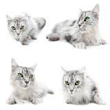 De katten van de kat Stock Afbeeldingen
