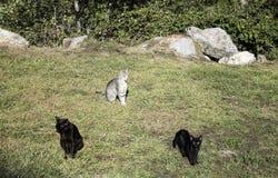 De katten van de kuddestraat Stock Foto