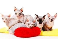 De katten van de sfinx Stock Foto's
