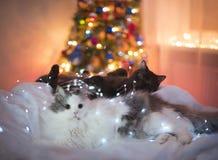 De katten worden klaar voor het nieuwe jaar Stock Afbeeldingen