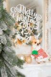 De kattenchihuahua van Nice zit dichtbij de spiegel Een inschrijving op m royalty-vrije stock afbeelding