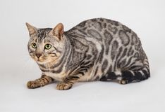 De kattenfoto van Bengalen in studio stock afbeeldingen