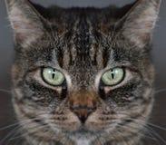 De kattengezicht van de gestreepte kat royalty-vrije stock fotografie