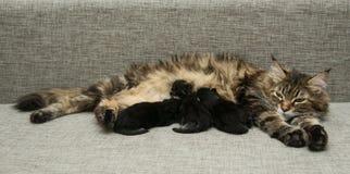 De kattenmoeder voedt haar katjesmelk Stock Afbeelding