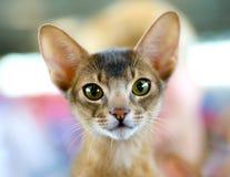 De kattenportret van Abyssinian Stock Foto