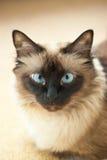 De kattenportret van Birman Stock Afbeeldingen