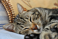 De kattenslaap. Royalty-vrije Stock Foto