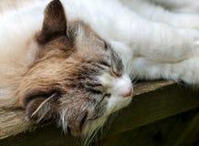 De kattenslaap van de close-upgember Royalty-vrije Stock Fotografie