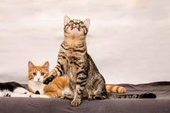 De kattenspelen Stock Afbeelding