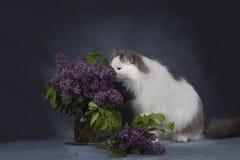 De kattenspelen met een boeket van seringen stock fotografie
