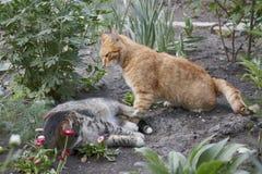 De kattenstrijd Royalty-vrije Stock Afbeeldingen