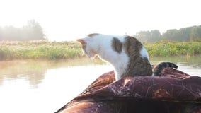 De kattenwas op de opblaasbare boot op de rivier Een mooie kat in een opblaasbare kajak rust samen met zijn stock footage