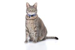 De kattenzitting van de gestreepte kat en het bekijken camera Stock Foto's