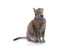 De kattenzitting van de gestreepte kat en looknig omhoog Stock Fotografie