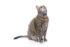 De kattenzitting van de gestreepte kat en omhoog het kijken Royalty-vrije Stock Afbeelding