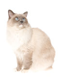 De kattenzitting van Ragdoll op witte achtergrond Royalty-vrije Stock Fotografie